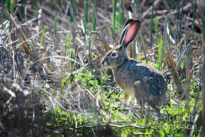 Photograph - Jackrabbit On Alert by Frank Wilson