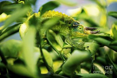 Blend Photograph - Jacksons Chameleon by Carl Shaneff - Printscapes