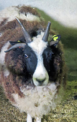 Photograph - Jacob Sheep by Cindy Murphy