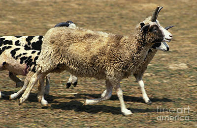 Jacob Sheep Art Print