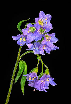 Photograph - Jacobs Ladder Flowers by Carolyn Derstine