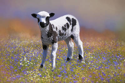 Photograph - Jacob's Lamb by Donna Kennedy