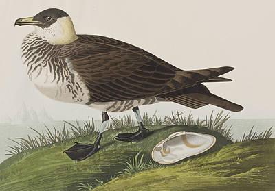 Jager Art Print by John James Audubon