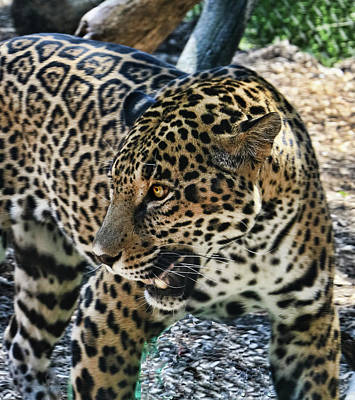 Photograph - Jaguar # 3 by Allen Beatty