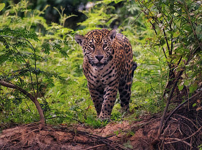Photograph - Jaguar      by Wade Aiken