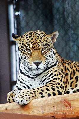 Photograph - Jaguar by Afrodita Ellerman