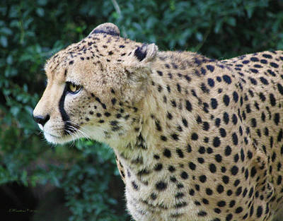 Photograph - Cheetah by Inspirational Photo Creations Audrey Woods