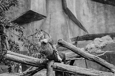 Photograph - Jaguar - Black And White by Susan McMenamin