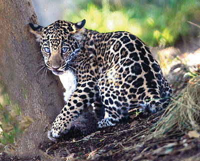 Photograph - Jaguar Cub Portrait Against Tree by William Bitman