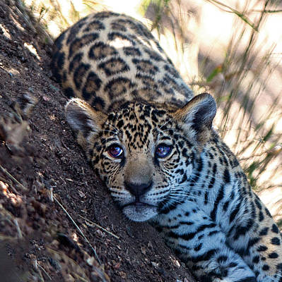 Photograph - Jaguar Cub Portrait by William Bitman