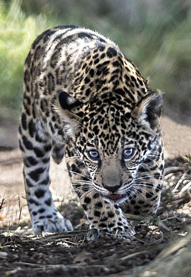 Photograph - Jaguar Cub Walking by William Bitman