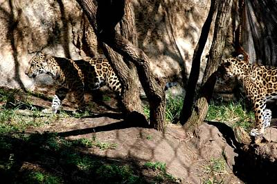 Photograph - Jaguar Cubs by Kenny Glover