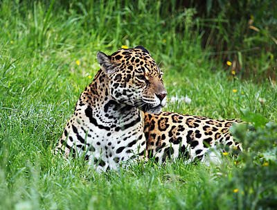 Photograph - Jaguar by Ellen Henneke