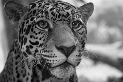 Photograph - Jaguar In Black And White by Sandy Keeton