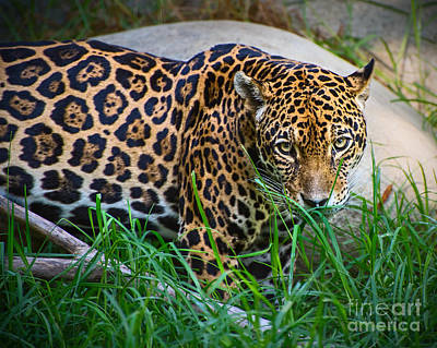 Strong America Photograph - Jaguar In Grass by Jamie Pham