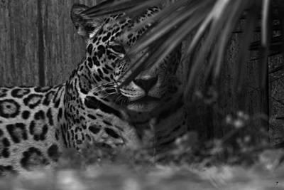 Jaguar In Hiding Original