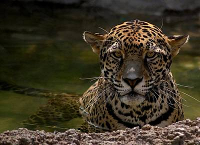 Jaguar In The Water Print by Sandy Keeton
