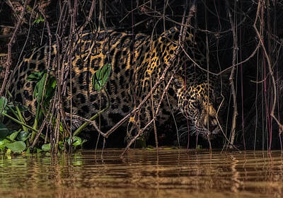 Photograph - Jaguar In Vines by Wade Aiken