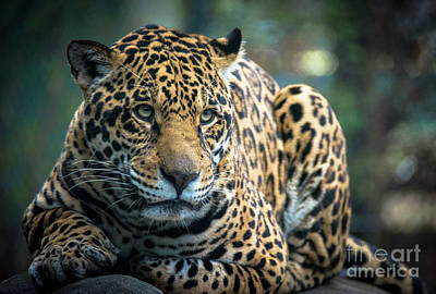 Photograph - Jaguar by Lisa L Silva