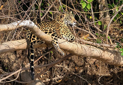 Photograph - Jaguar In Repose by Wade Aiken