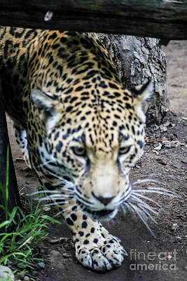 Photograph - Jaguar On The Prowl by Suzanne Luft
