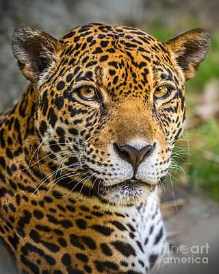 Strong America Photograph - Jaguar Portrait by Jamie Pham