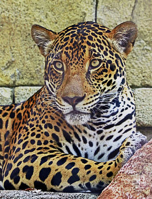 Photograph - Jaguar Portrait by Larry Nieland