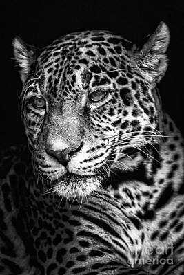 Photograph - Jaguar Portriat by Sonya Lang