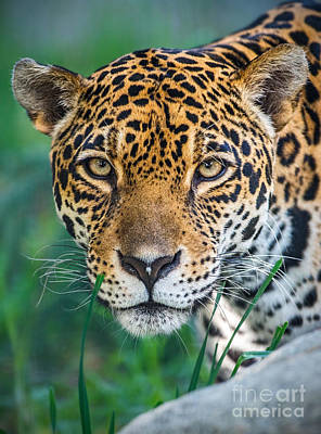 Strong America Photograph - Jaguar Queen by Jamie Pham