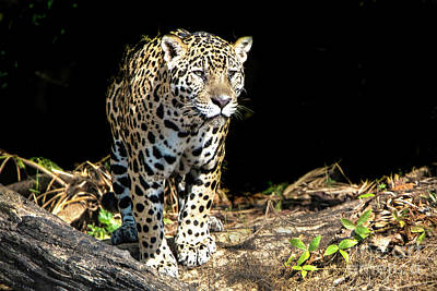 Photograph - Jaguar Stare by Pravine Chester