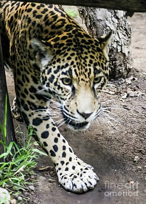 Photograph - Jaguar by Suzanne Luft