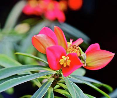 Photograph - Jamaican Poinsettia 2 by Janis Nussbaum Senungetuk