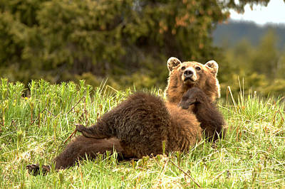 Photograph - James Showboat Comey Grizzly by Adam Jewell