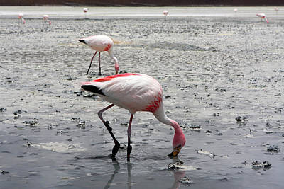 Photograph - James's Flamingo, Bolivia by Aidan Moran