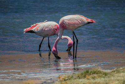 Photograph - James's Flamingos, Salar De Uyuni, Bolivia by Venetia Featherstone-Witty