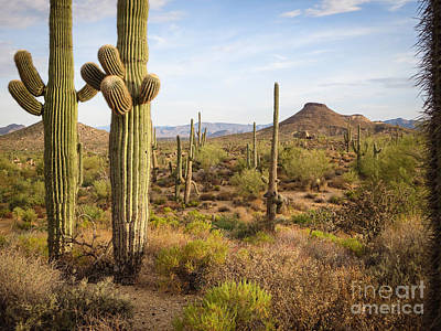 Photograph - Jane Rau Trail Twin Saguaros by Marianne Jensen