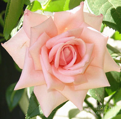 Photograph - Janet's Pink Rose by Rod Ismay