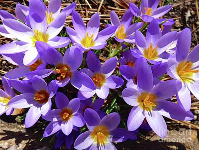 Photograph - January Crocuses by Jean Wright