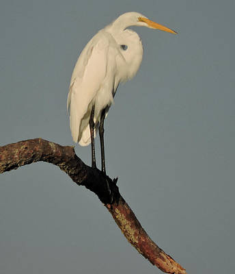 Photograph - January Egret by Peg Toliver