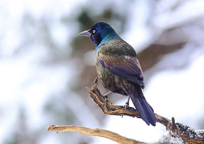 Photograph - January Grackle by Daniel Reed