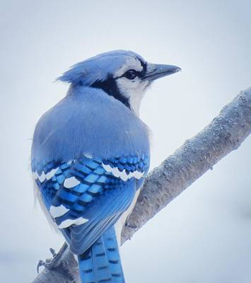 Photograph - January Jay - Bird by MTBobbins Photography