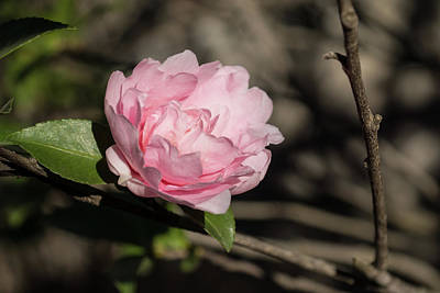 Photograph - January Jewel - Solo Camellia Flower In Soft Baby Pink by Georgia Mizuleva