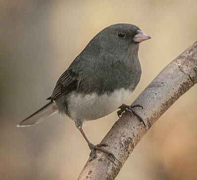 Photograph - January Junco by Jim Moore