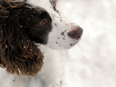January Spaniel - English Springer Spaniel Art Print