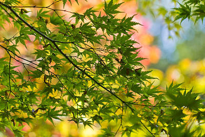 Photograph - Japanese Acer Leaves During Fall by Clare Bambers