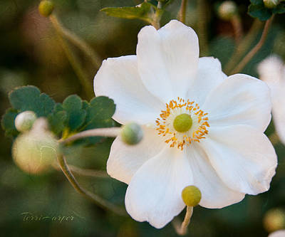 Photograph - Japanese Anemone by Terri Harper