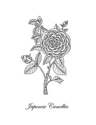 Camellias Drawing - Japanese Camellia Flower Botanical Drawing  by Irina Sztukowski