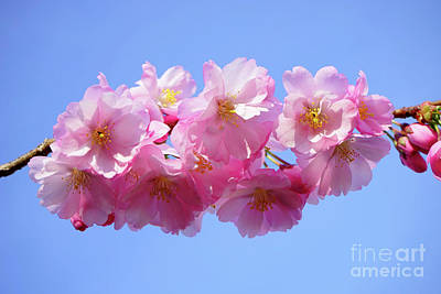 Photograph - Japanese Cherry Leaves by S Art