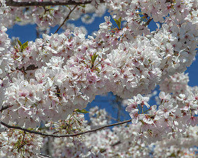 Photograph - Japanese Cherry Tree Blossoms On The Tidal Basin Ds0077 by Gerry Gantt