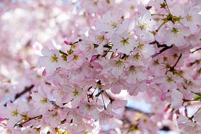 Photograph - Japanese Cherry Tree Blossoms by SR Green